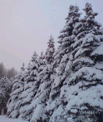 Елки в лесу